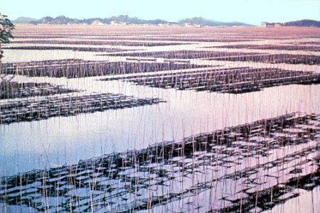 Nori Cultivation on nets in Japan