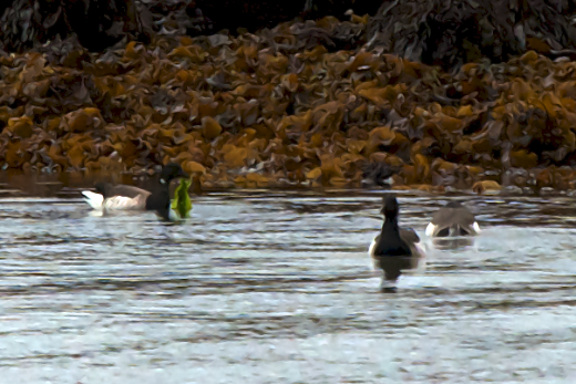 Brent Geese eating Ulva at Silver Strand Galway Bay © M.D. Guiry